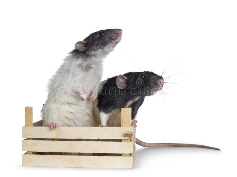 在白色背景的逗人喜爱的黑白dumbo鼠 库存照片