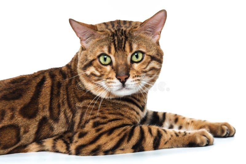 在白色背景的金孟加拉猫 免版税图库摄影