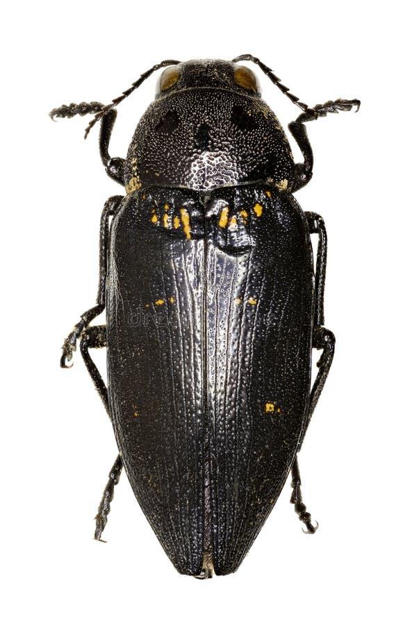在白色背景的金属木头乏味甲虫 免版税库存图片