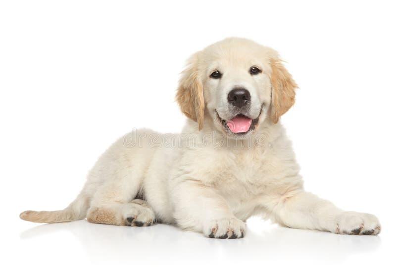 在白色背景的金黄Retriver小狗 免版税库存照片