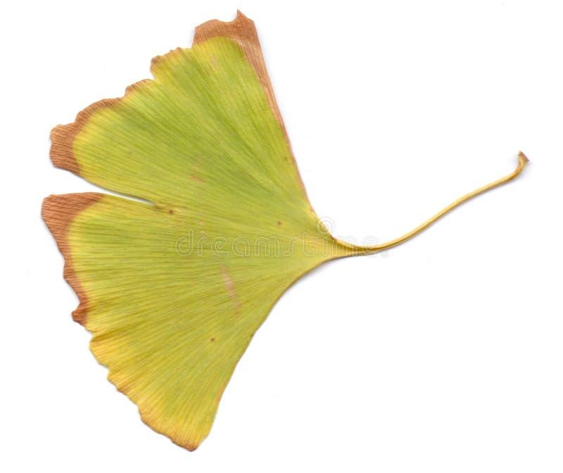在白色背景的银杏树叶子 使用铅印材料,标志,对象,网站,地图,海报,明信片,包装 查出 库存照片