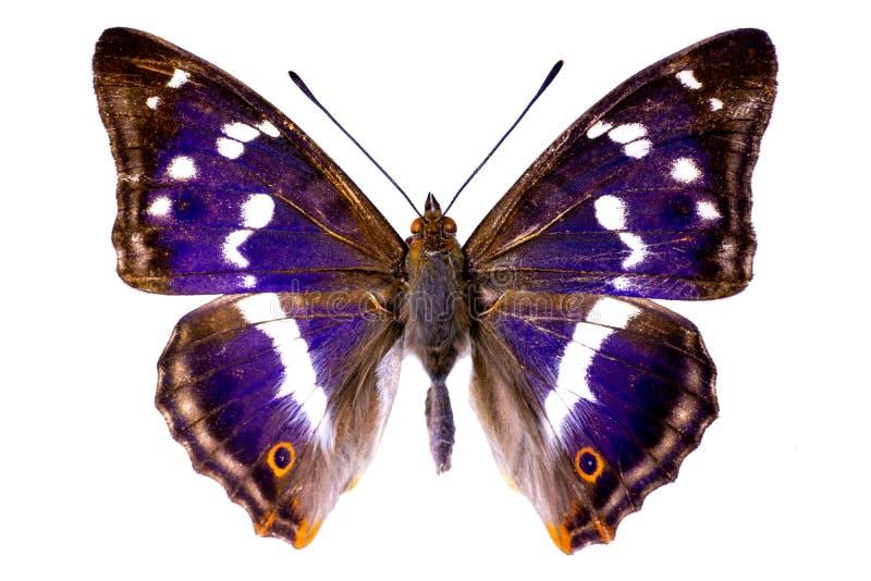 在白色背景的闪蛱蝶属虹膜 免版税库存图片