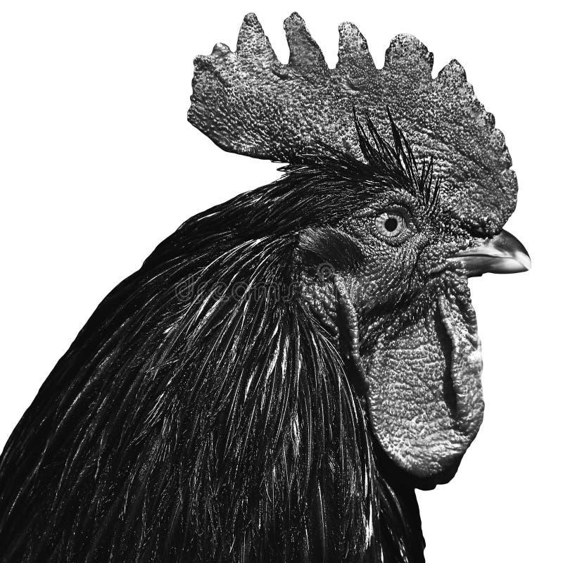 在白色背景的雄鸡画象 图库摄影