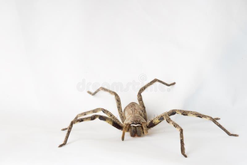 在白色背景的雨蜘蛛 免版税库存图片