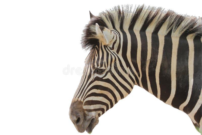 在白色背景的顶头斑马 免版税库存图片