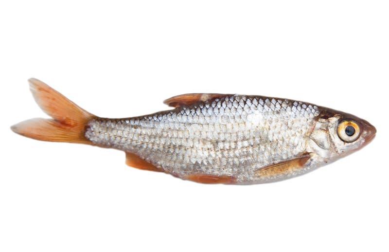 在白色背景的鱼 库存照片