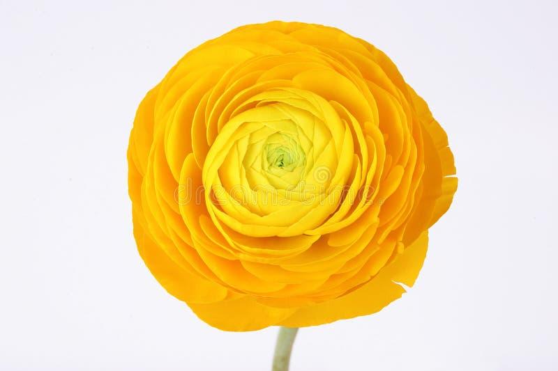 在白色背景的黄色毛茛属花 免版税库存照片