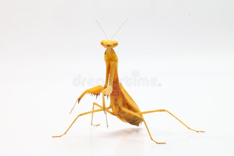 在白色背景的黄色螳螂 库存照片