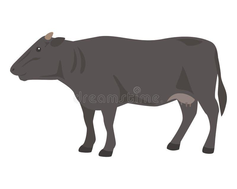 在白色背景的黑母牛 Wagyu –日本短角牛 皇族释放例证