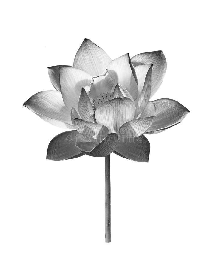 在白色背景的黑莲花 免版税图库摄影