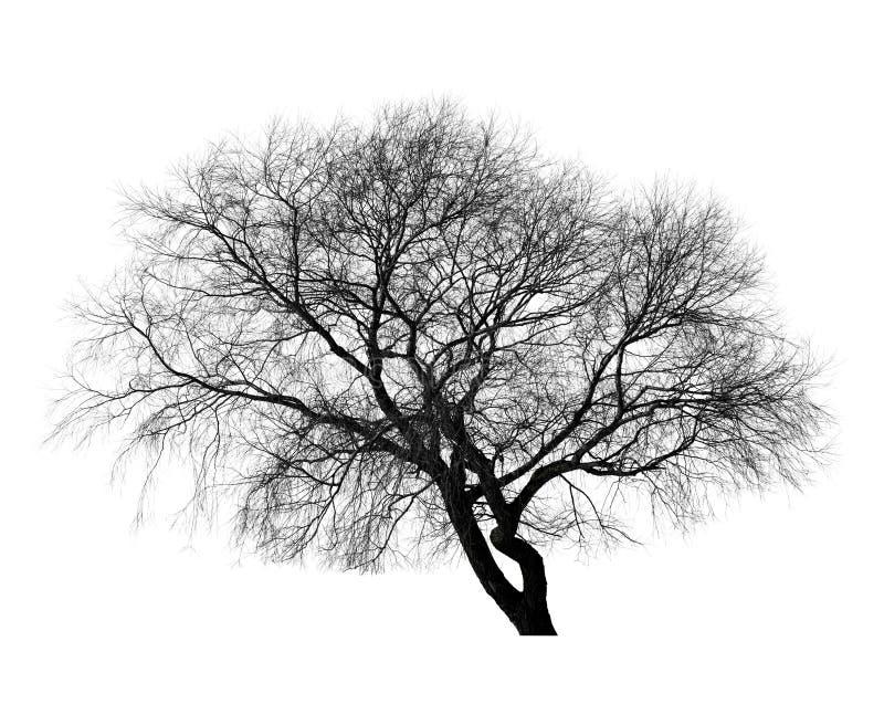 在白色背景的黑不生叶的树 库存照片