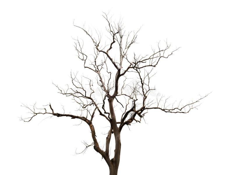 在白色背景的贫瘠树孤立 免版税库存照片