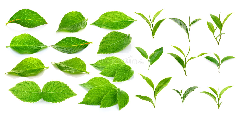 在白色背景的绿色茶叶和绿色叶子 免版税库存图片