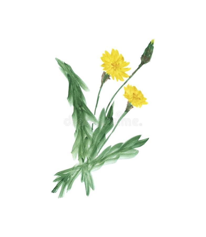 在白色背景的黄色蒲公英 免版税库存图片