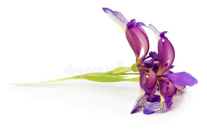 在白色背景的紫色虹膜花 库存照片