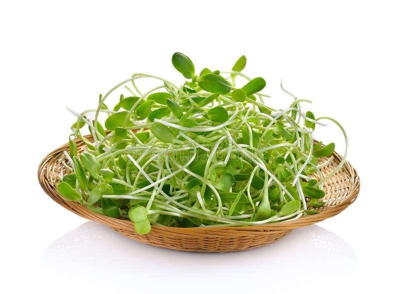 在白色背景的绿色年轻向日葵新芽 图库摄影