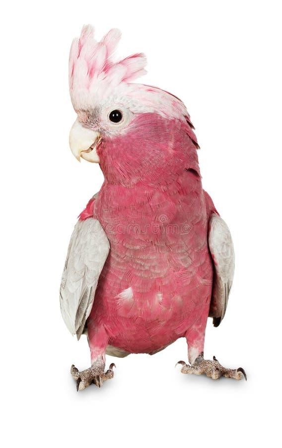 在白色背景的主要米歇尔美冠鹦鹉 免版税库存图片