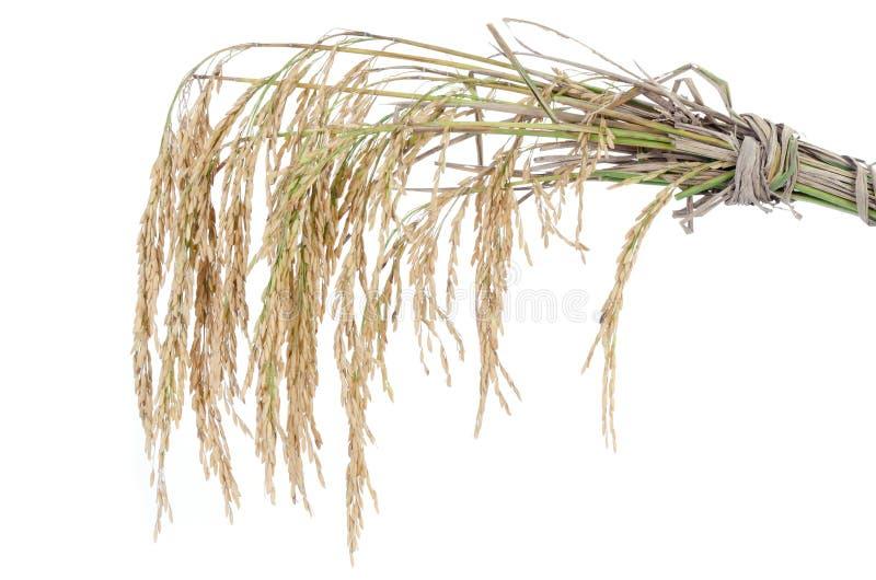 在白色背景的水稻 免版税图库摄影
