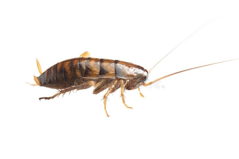 在白色背景的cockroache若虫图片