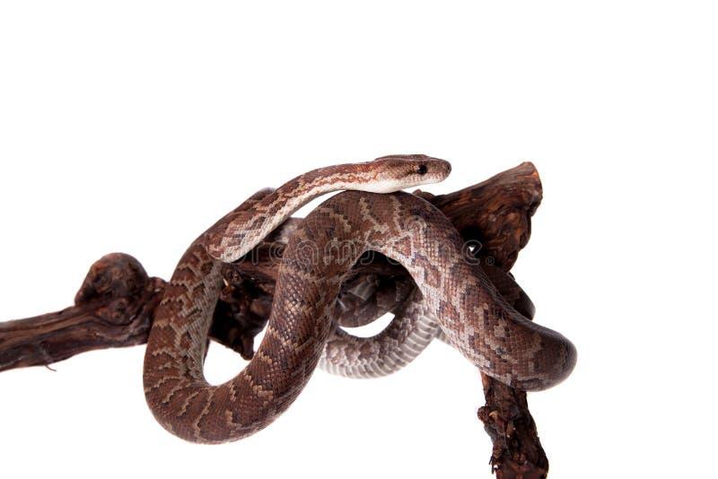 在白色背景的Hispaniolan蟒蛇 免版税库存图片