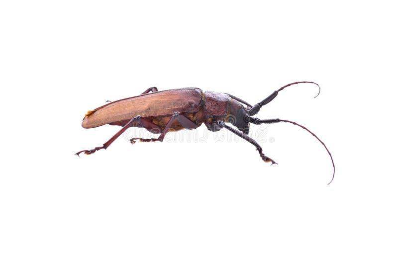 在白色背景的Insescts长有角的甲虫 免版税库存照片