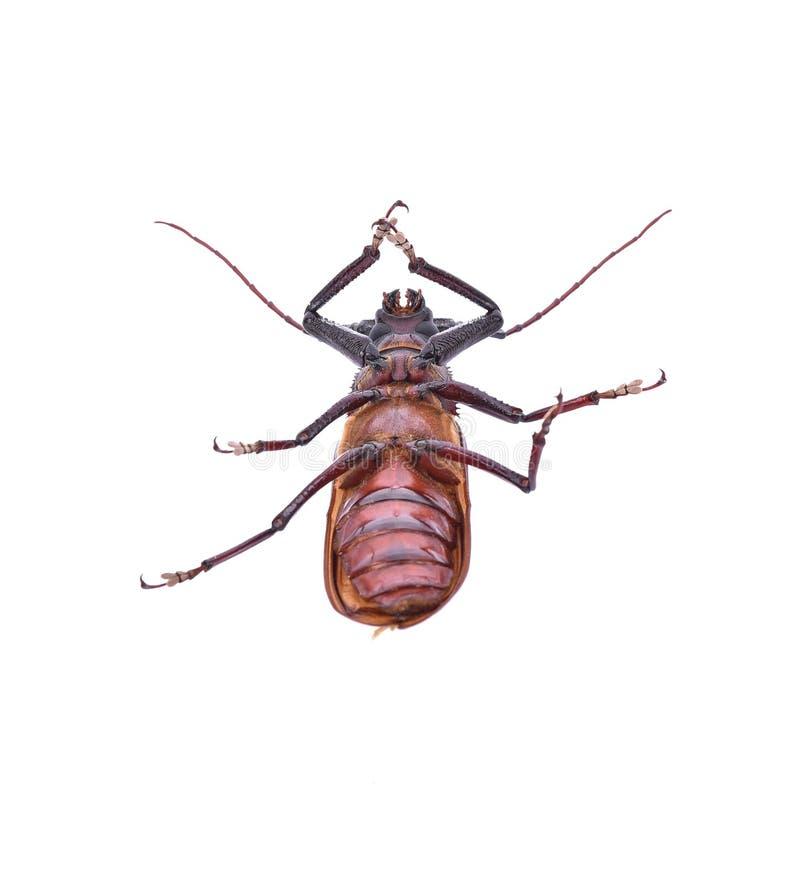在白色背景的Insescts长有角的甲虫 库存图片