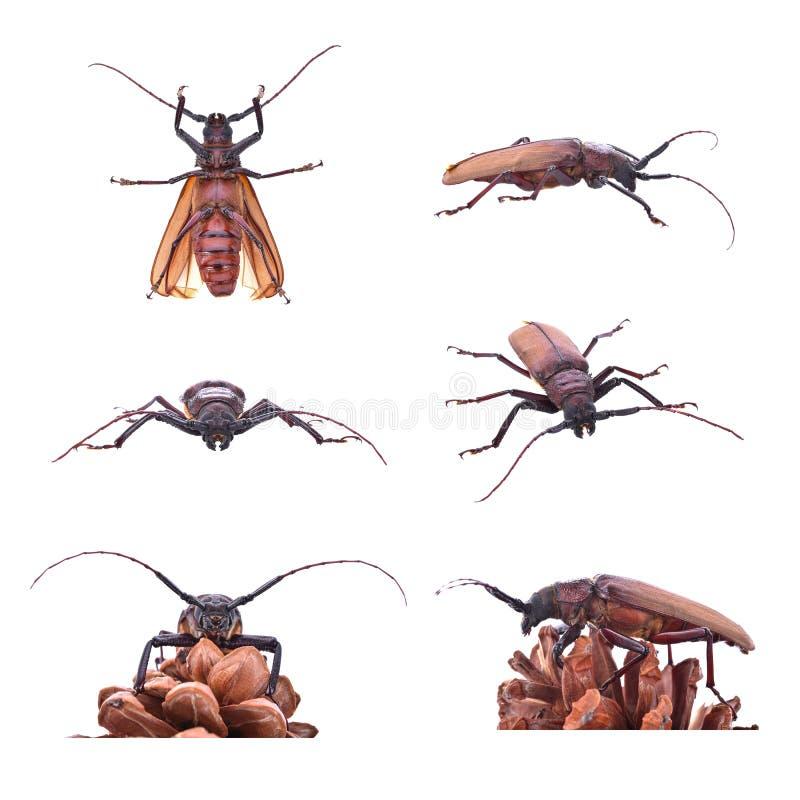 在白色背景的Insescts长有角的甲虫 免版税图库摄影