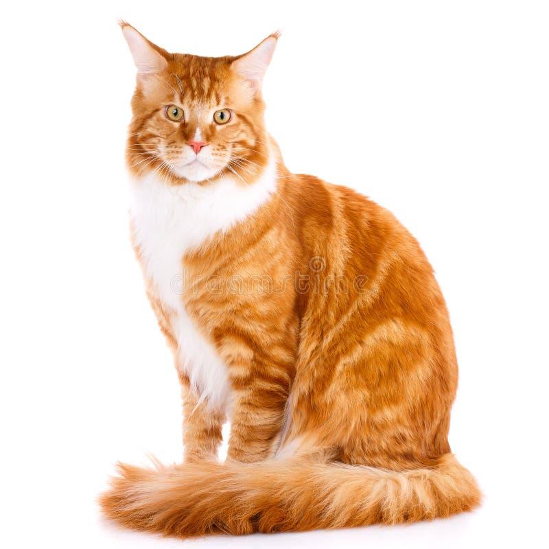 在白色背景的Mainecoon良种猫 免版税库存图片