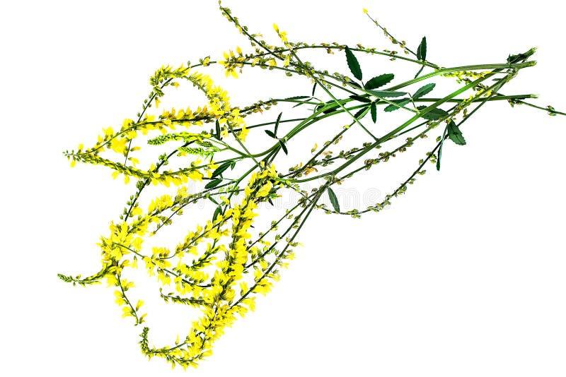 在白色背景的Melilotus officinalis 图库摄影