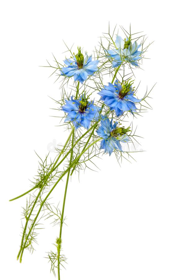 在白色背景的Nigella漂白亚麻纤维的花 黑色开花  图库摄影