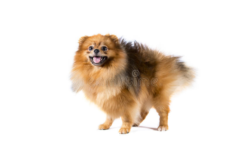 在白色背景的Pomeranian狗 库存图片
