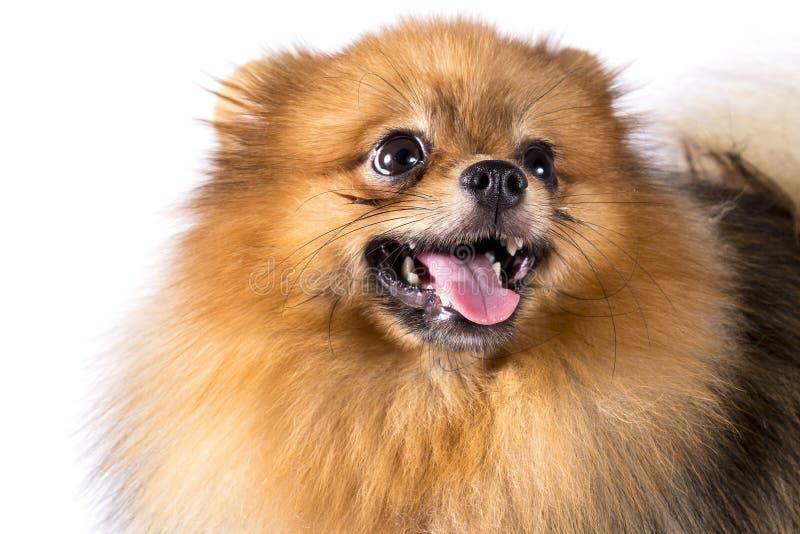 在白色背景的Pomeranian狗 免版税图库摄影