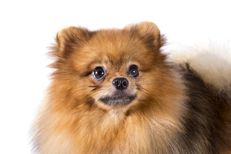在白色背景的Pomeranian狗 免版税库存图片