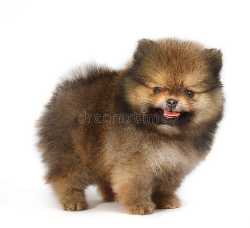 在白色背景的Pomeranian,被隔绝 库存图片