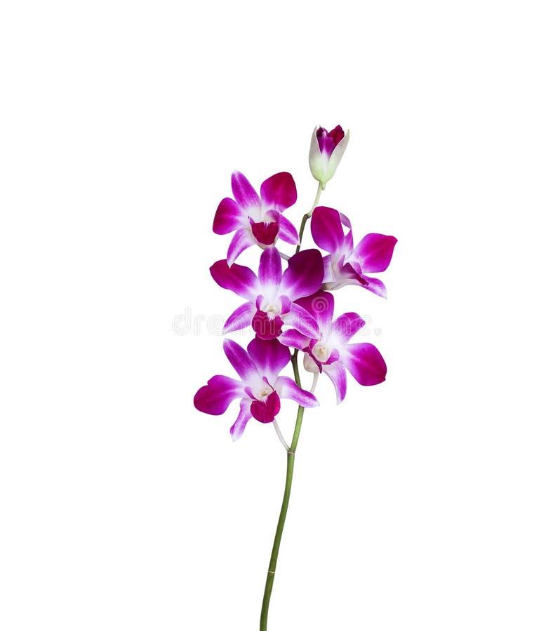 在白色背景紫色兰花开花隔绝的开花 库存照片