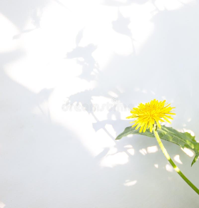 在白色背景背景阴影隔绝的蒲公英花 图库摄影