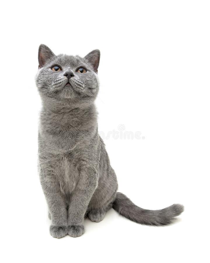 在白色背景背景隔绝的年轻灰色猫开会 免版税库存照片