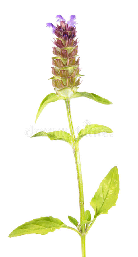 在白色背景自愈合, brownwort或毛织品寻常隔绝的共同性 药用植物 免版税库存照片