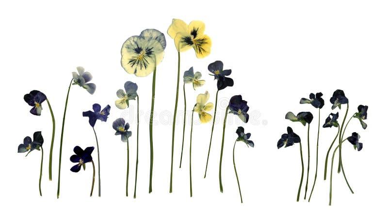 在白色背景蝴蝶花中提琴三色隔绝的被按的干干燥标本集 皇族释放例证