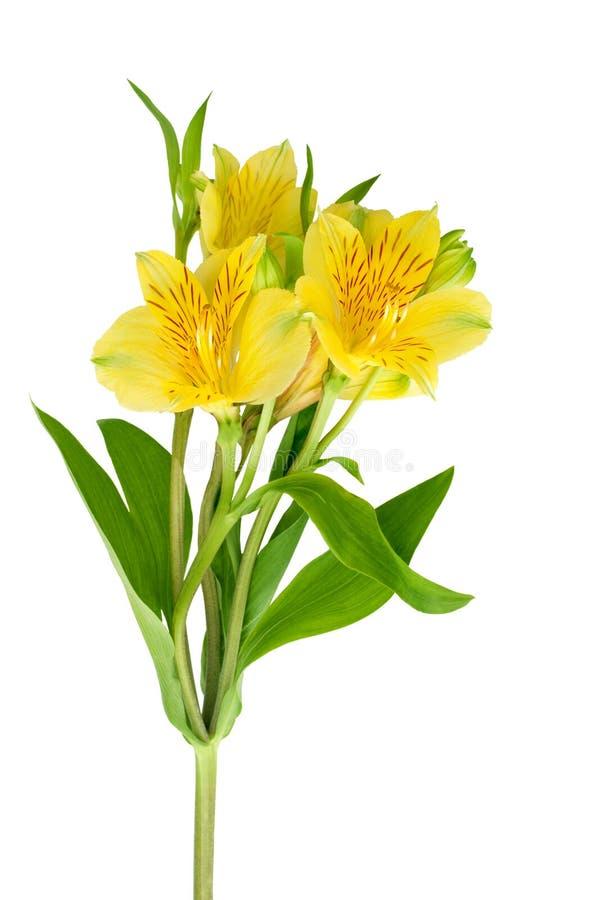 在白色背景被隔绝的关闭的黄色德国锥脚形酒杯花,在一个分支的三朵百合花与绿色叶子 图库摄影