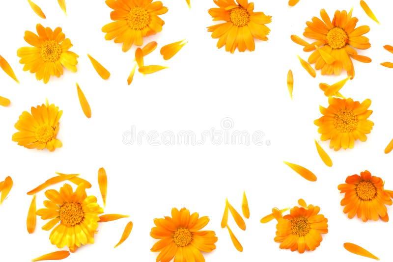 在白色背景金盏草隔绝的万寿菊花开花顶视图 免版税库存照片