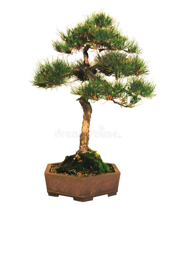 在白色背景隔绝的一个棕色陶瓷罐的盆景矮小的杉树 免版税库存图片