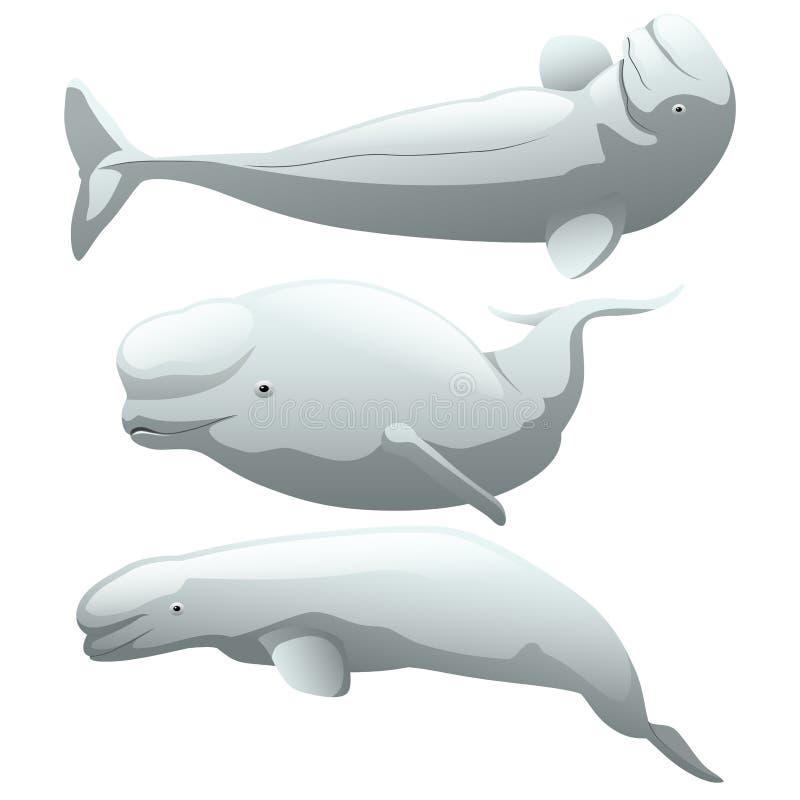 在白色背景隔绝的一套异乎寻常的白海豚鲸鱼 库存例证