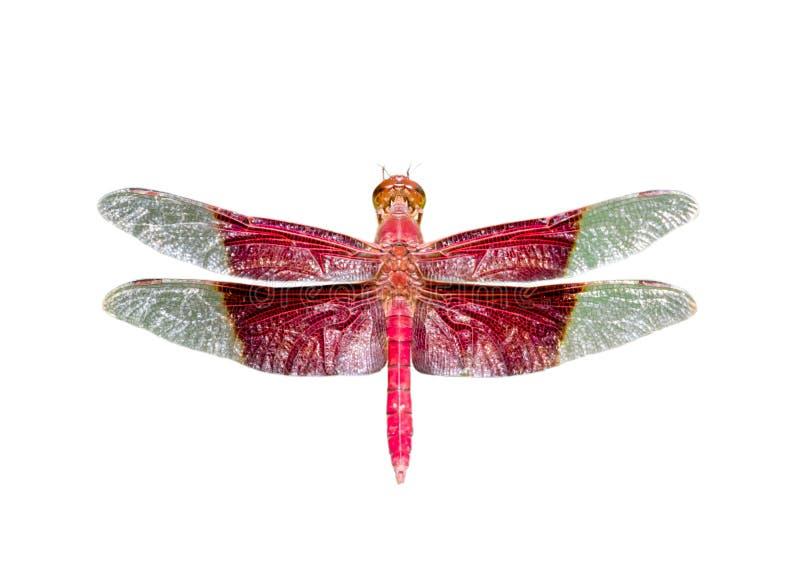在白色背景隔绝的一巨型男性苏丹蜻蜓Camacinia gigantea的图象 ?? ?? 库存图片
