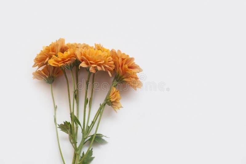 在白色背景隔绝的一朵开花的橙色菊花的分支 免版税图库摄影