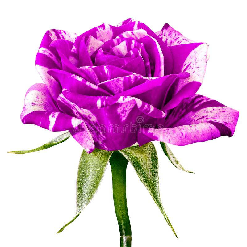 隔绝的一朵淡紫色白色玫瑰花 特写镜头 在一个绿色词根的花蕾与叶子图片
