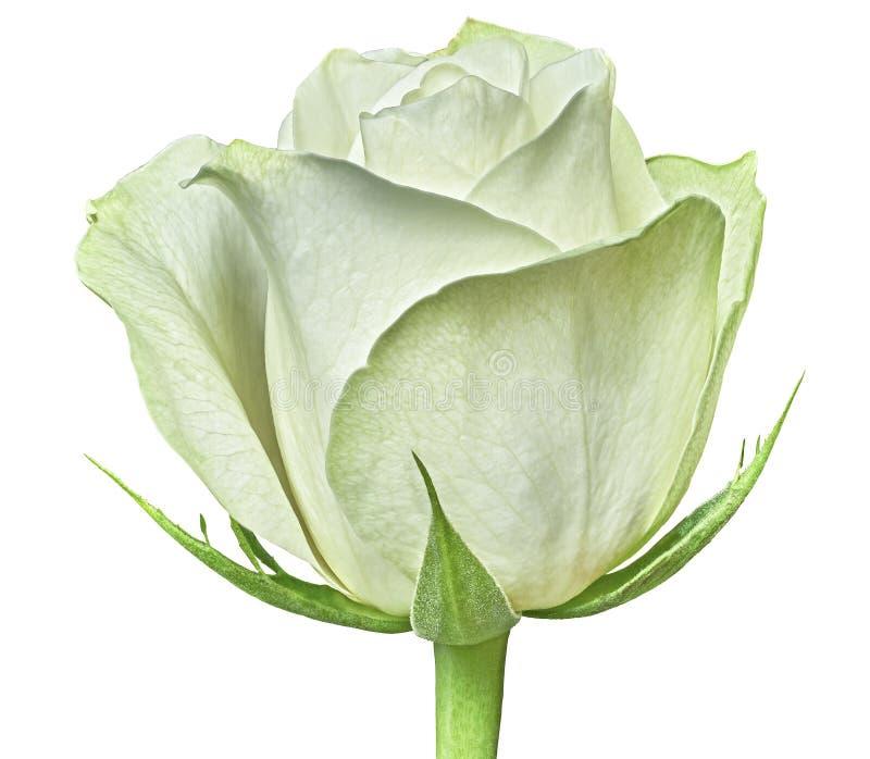 白色背景隔绝的一朵白色玫瑰花 特写镜头 在一个绿色词根的花蕾与叶子图片