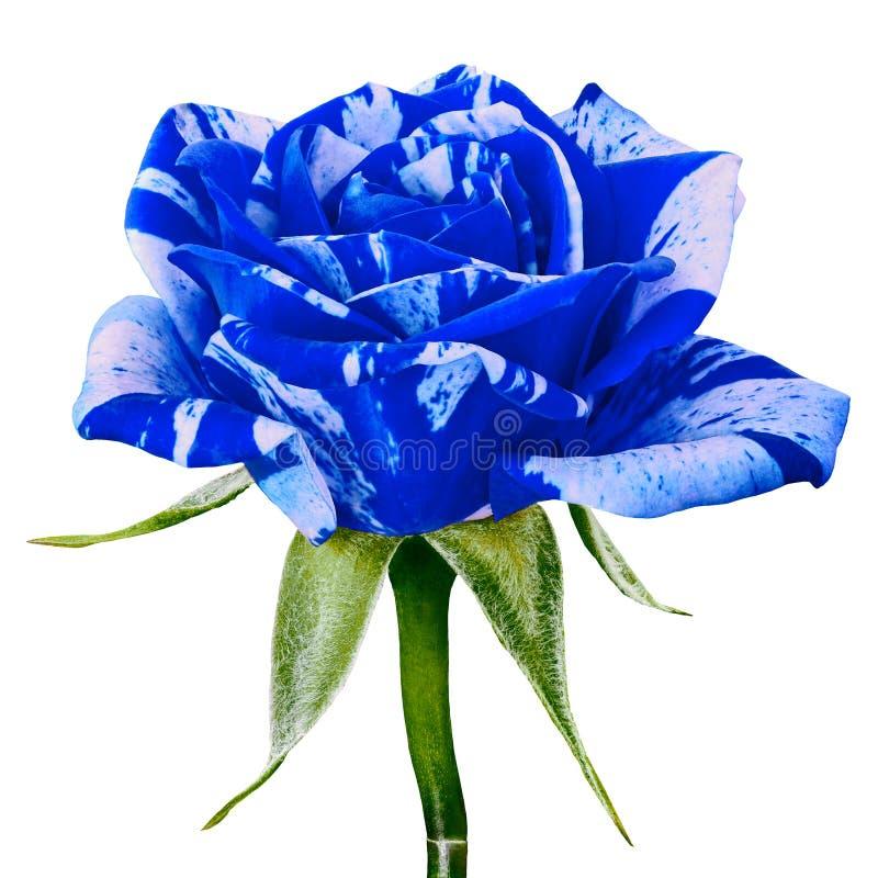 背景隔绝的一朵蓝色白色玫瑰花 特写镜头 在一个绿色词根的花蕾与叶子图片
