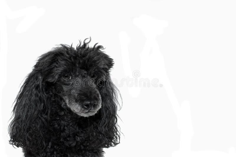 在白色背景隔绝的一条黑长卷毛狗的画象 展望期 免版税库存照片