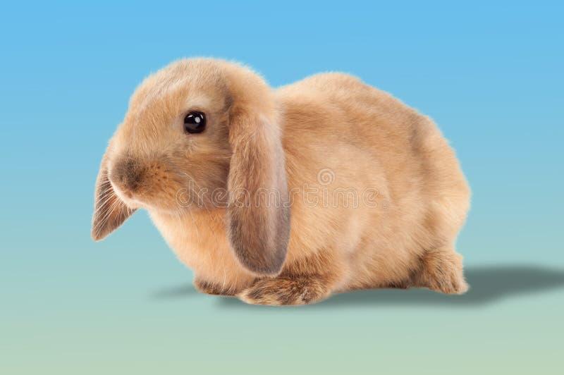 在白色背景隔绝的一点兔宝宝 小的兔子 免版税库存图片